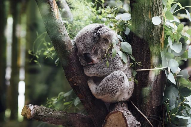 コアラ保護プログラム